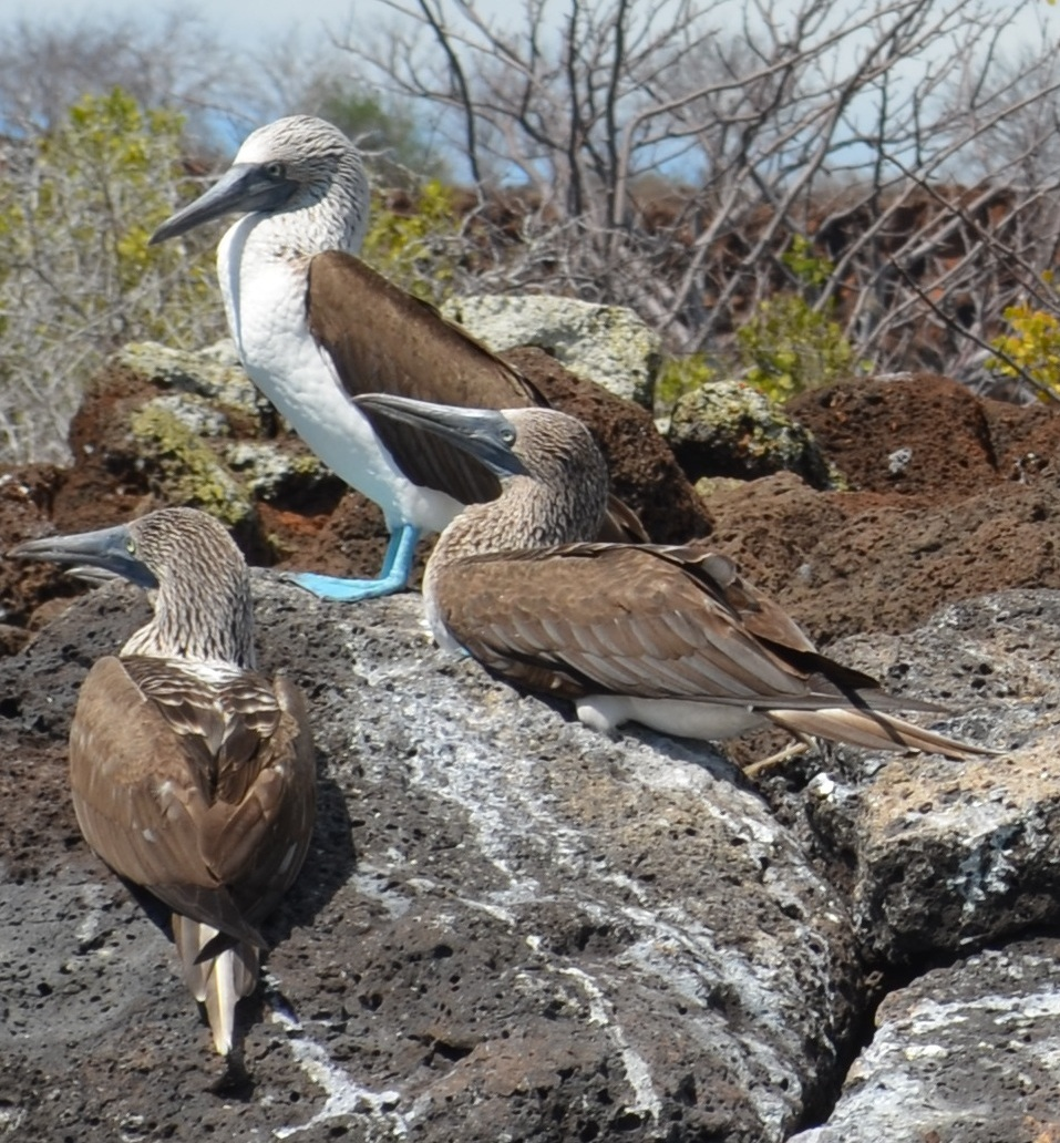 blue footed boobies Galapagos