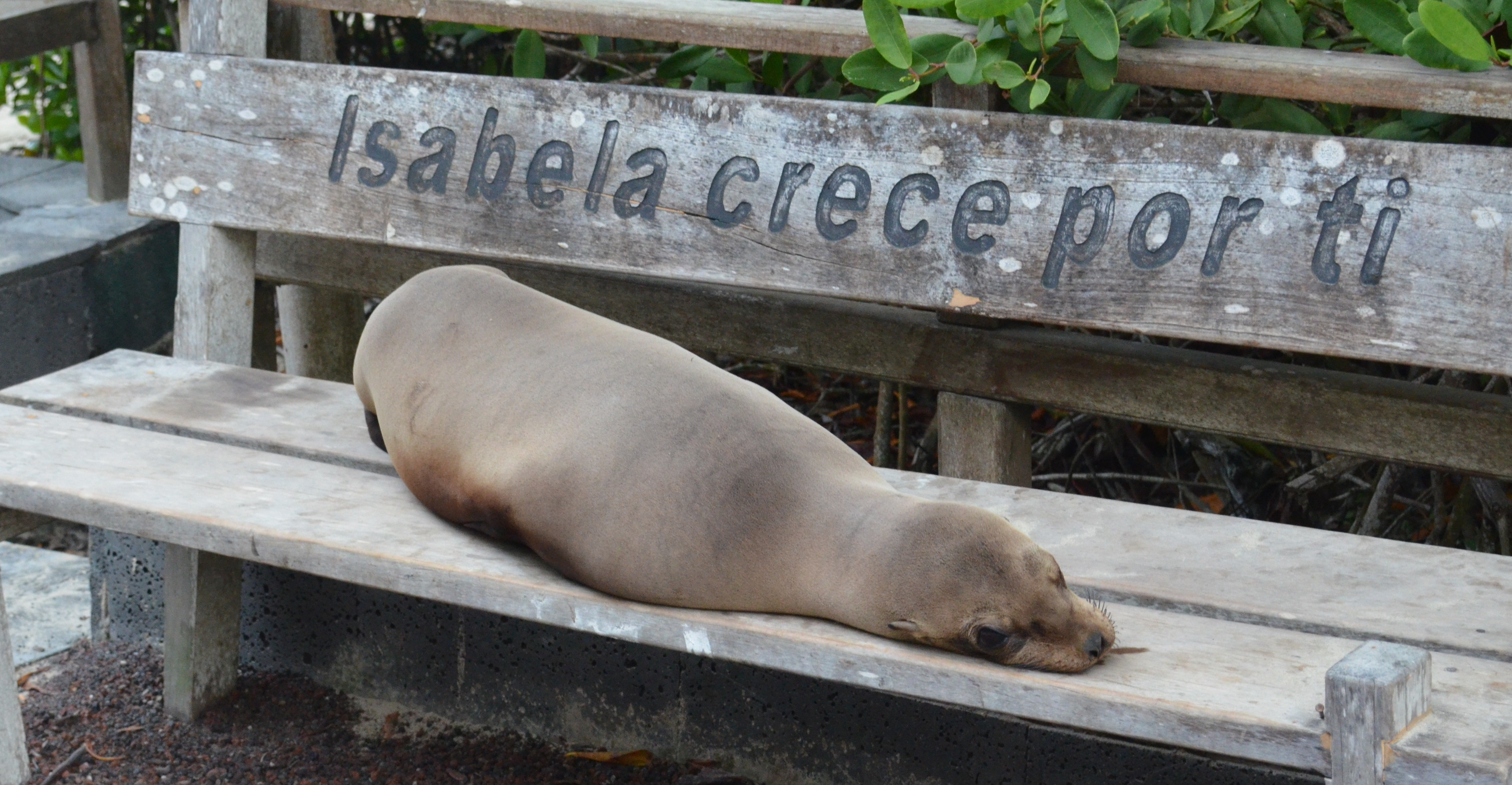 A sea lion lays on a bench